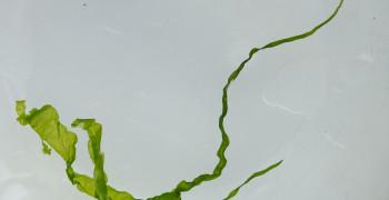 Mangeons des algues, mangeons du calcium !