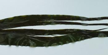 Algues : précautions à prendre